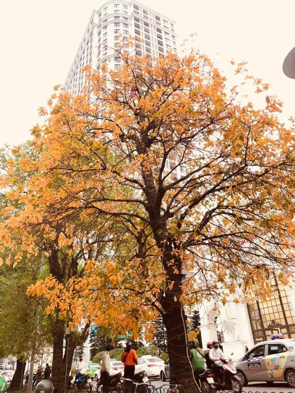 Những hàng cây vàng rực cả góc phố trong mùa thay lá. (Ảnh: Thủy Mũm Mĩm)